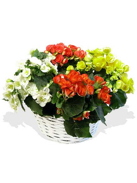 Begonias Arcoiris four