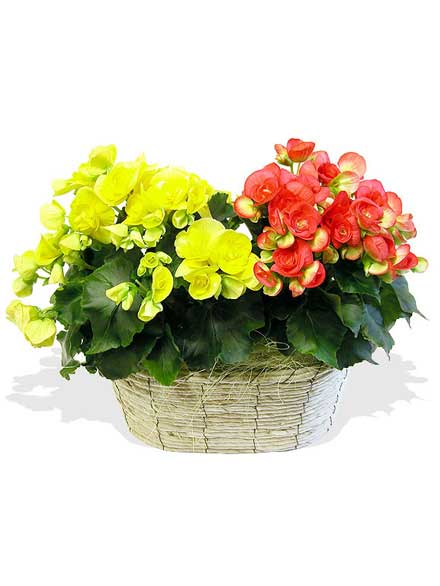 Begonias Arcoiris two